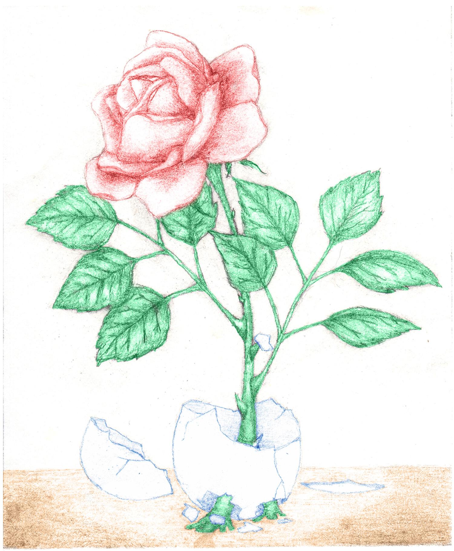eggshell rose
